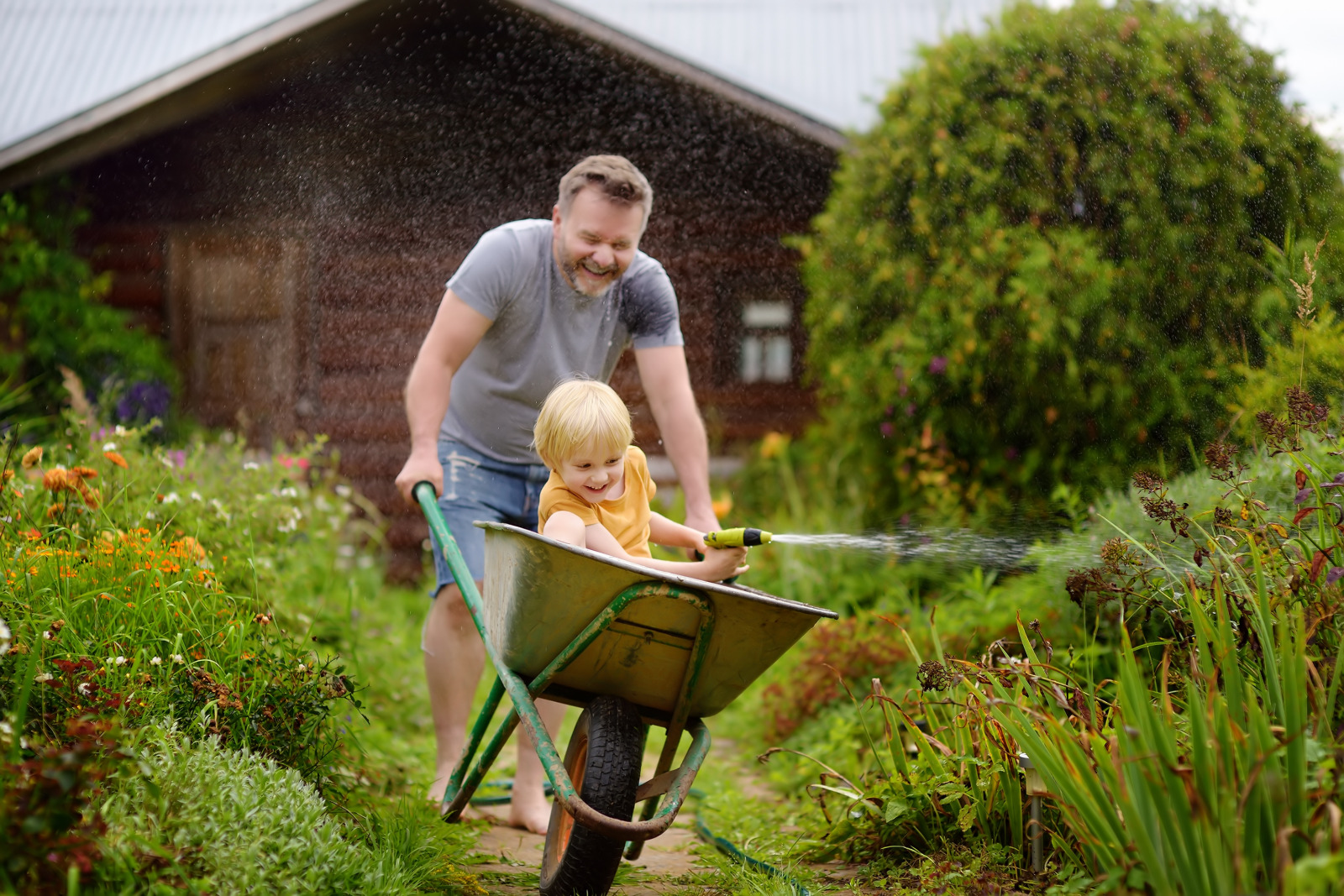 father pushing son in a wheelbarrow, while the son waters the garden with a hose. giggling free happy